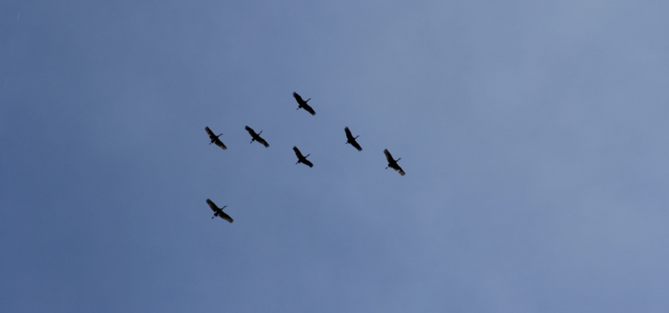 Sand Hill Cranes overhead.