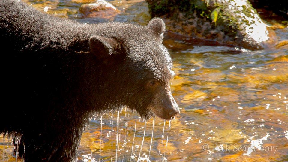 Black Bear Dripping