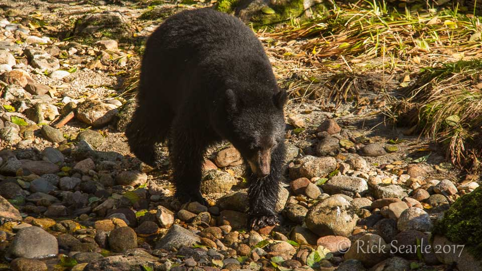 Black bear strolls along streamside