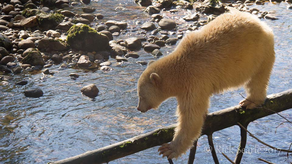Spirit bear walks a log