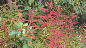 Fall Fireweed