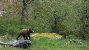 Grizzly on Rock
