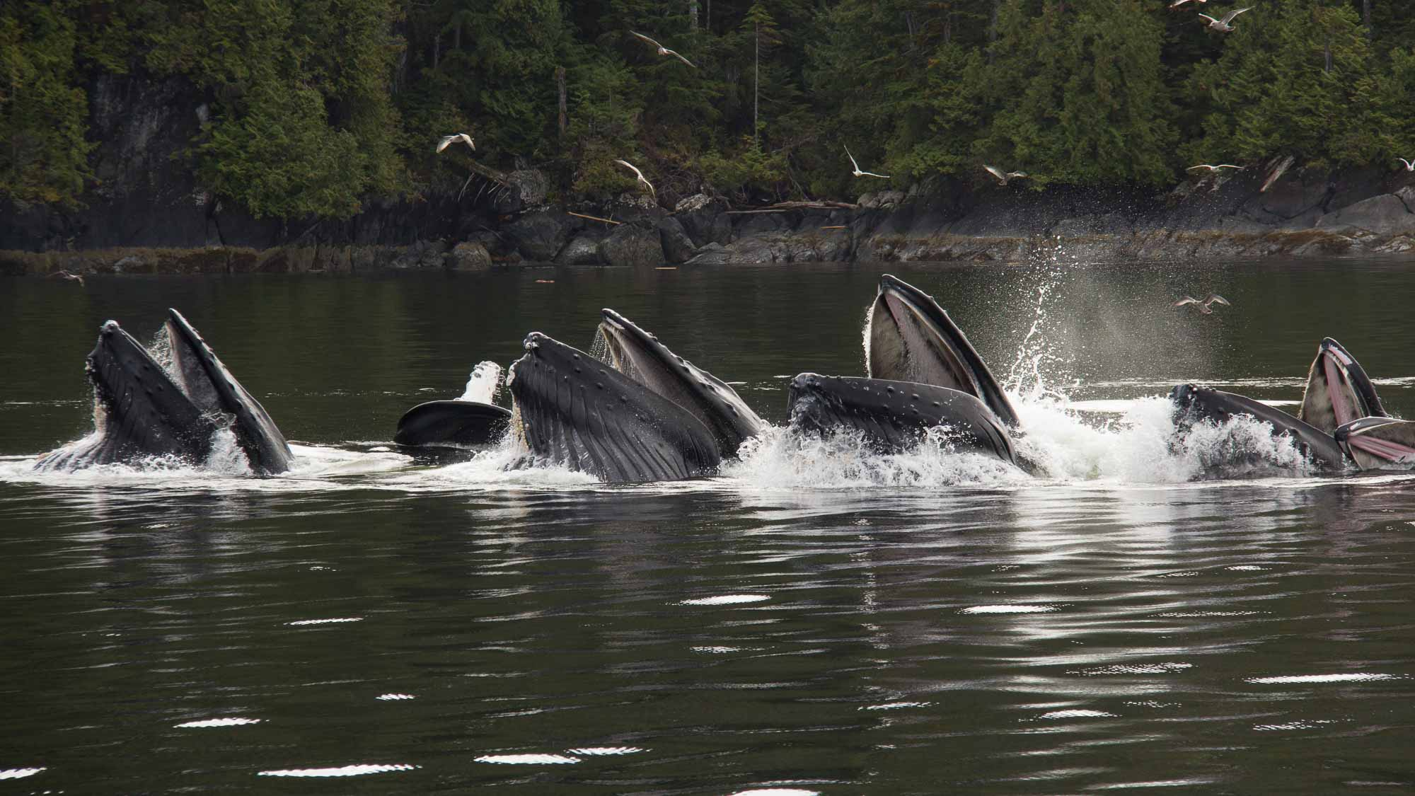 Humpback whales surge to the surface