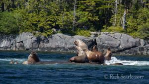 Bull Sea Lions Stand-Off