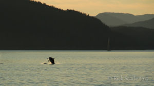 Orca breaches
