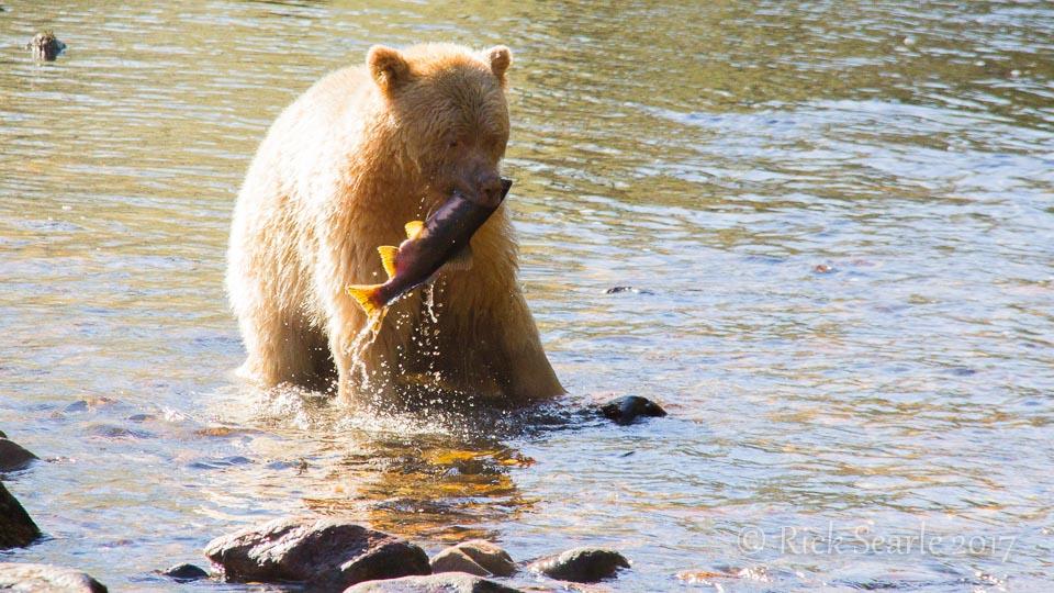 Spirit Bear Catches Salmon