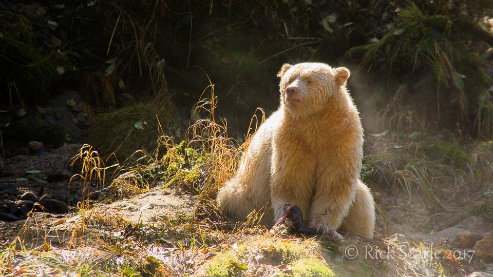 Spirit Bear Eats Salmon