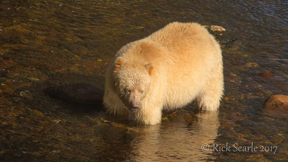 Spirit Bear Wading