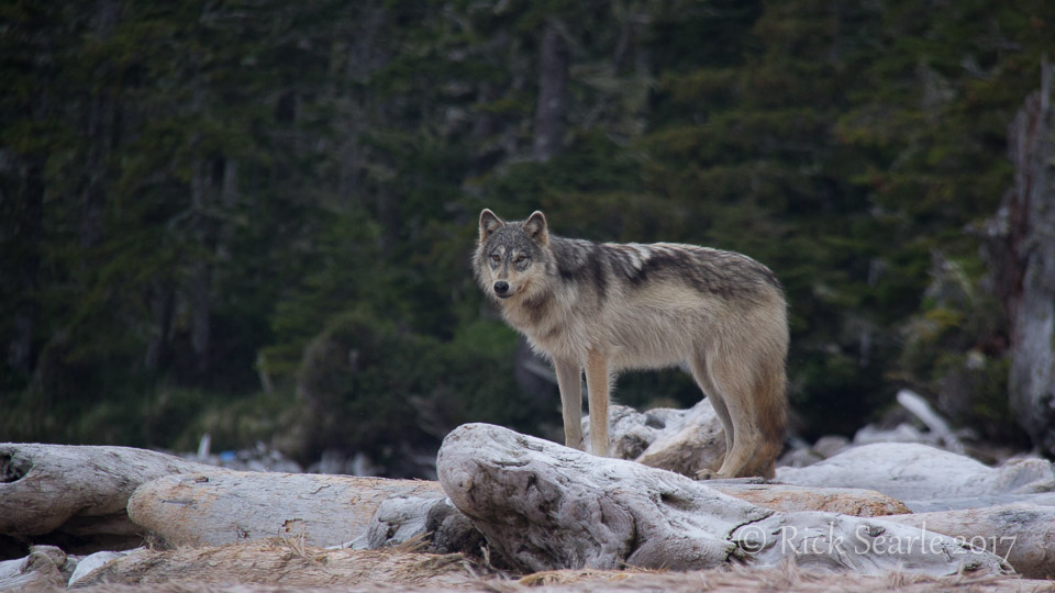 Coastal wolf standing on log