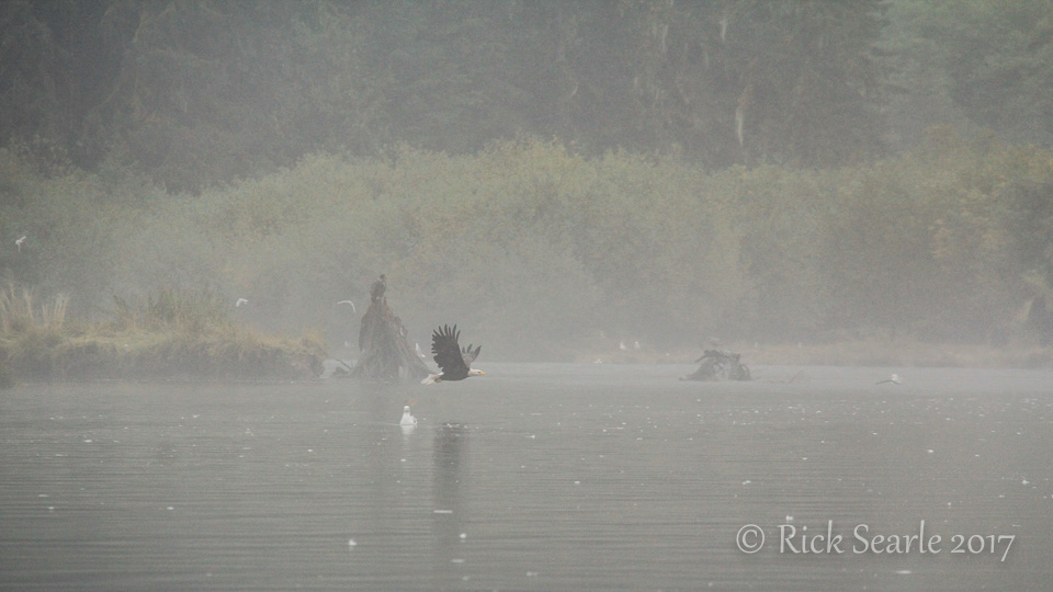 Bald eagle taking off low to water