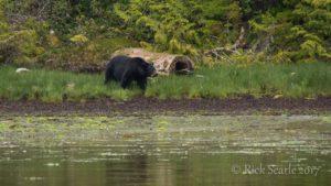 Black Bear Eating Sedge