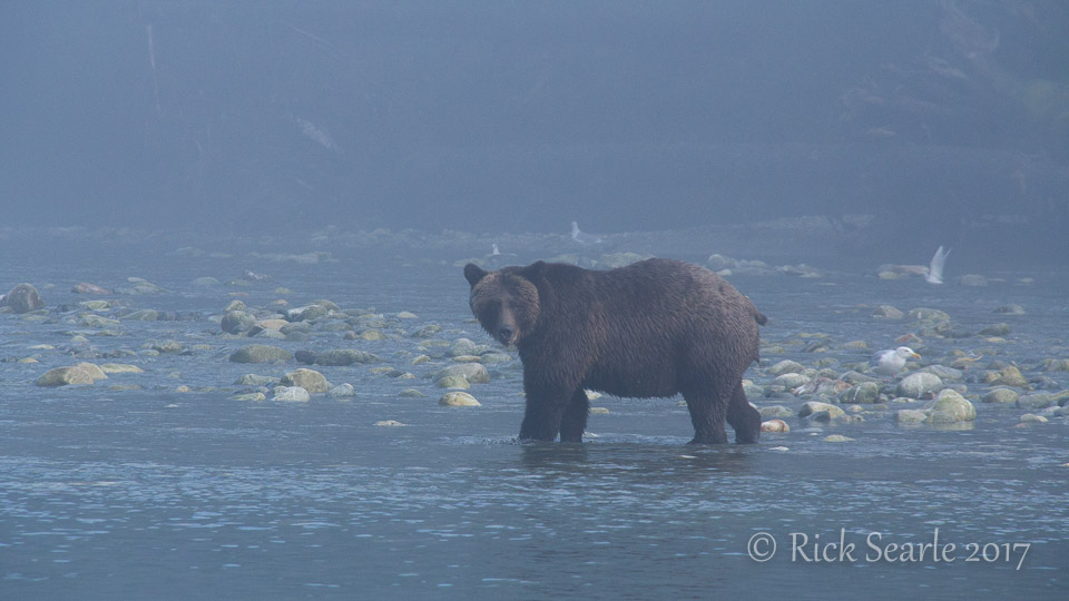 Grizzly in fog by streamside