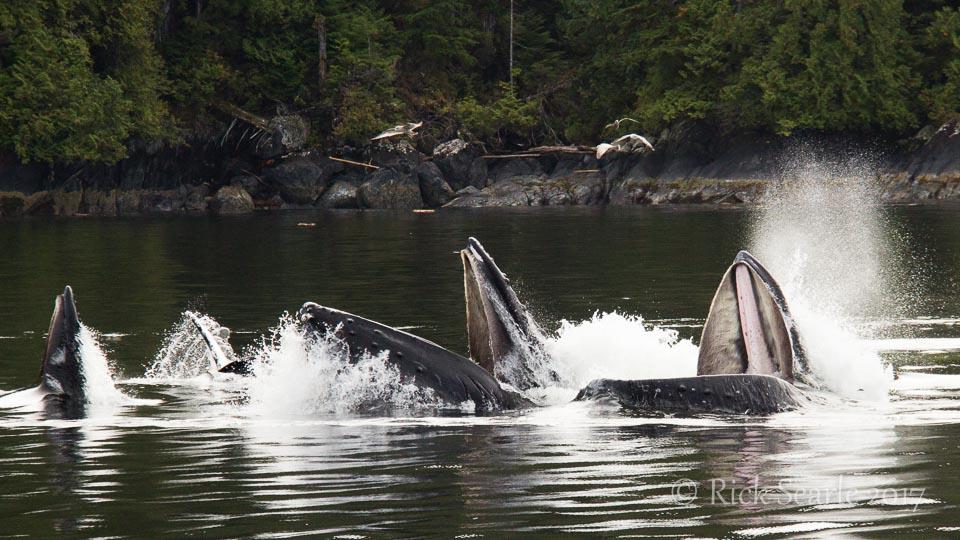 humpback whales bubble net feeding