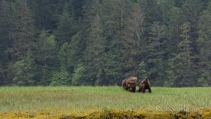 Female Grizzly with Two Cubs