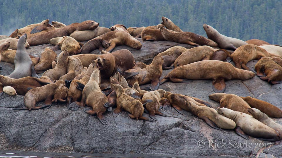 Sea lions male with females