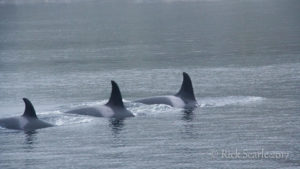 Three orcas in a row