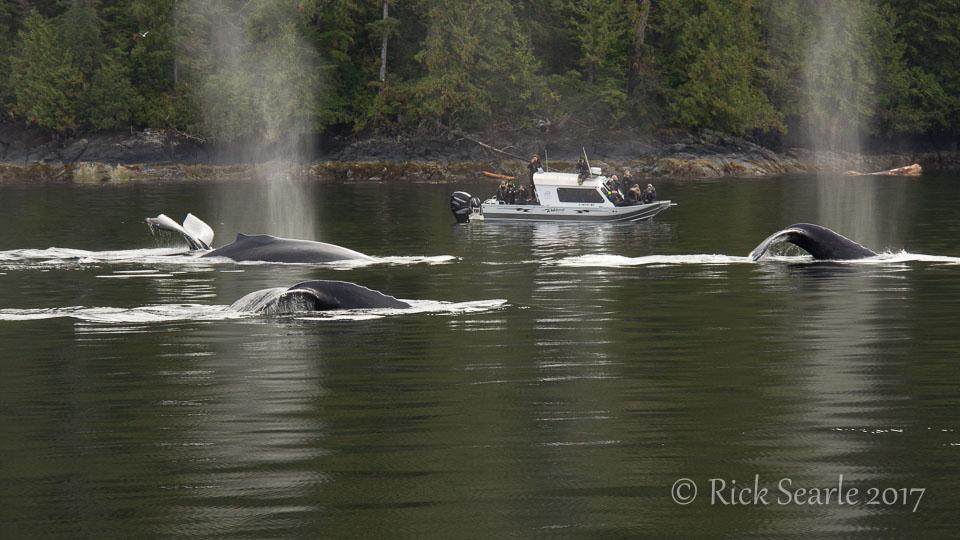 Humpback whales Diving