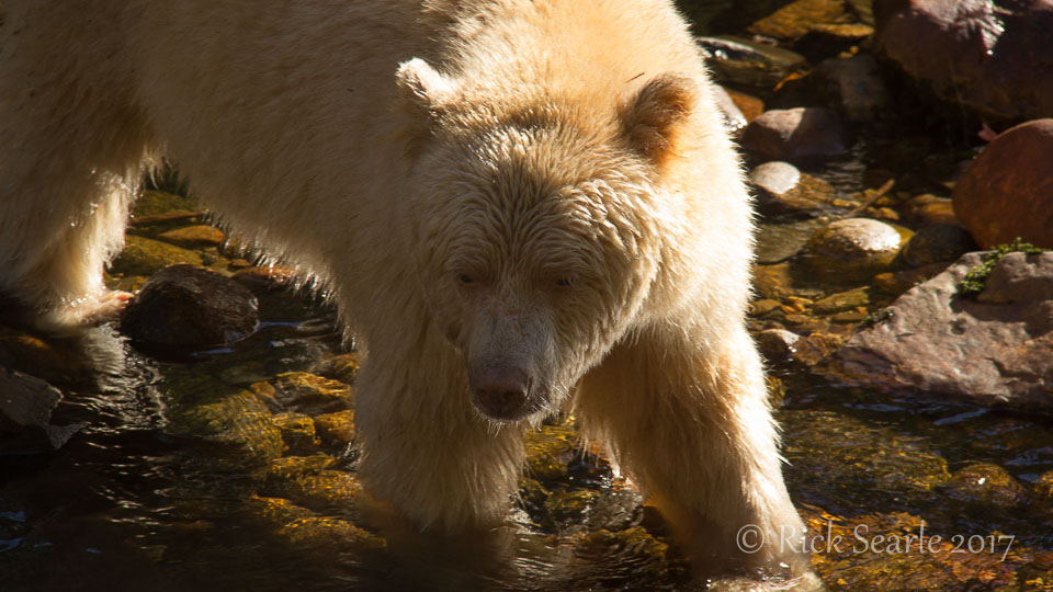 Spirit Bear close-Up