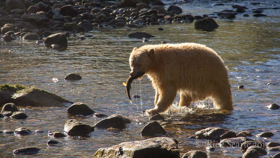 Spirit Bear with salmon in mouth