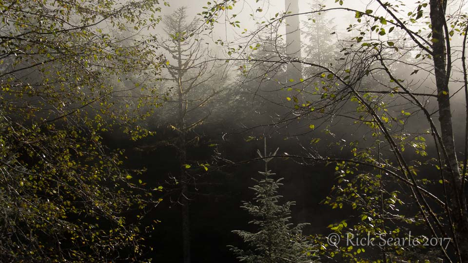 Young forest in morning mist