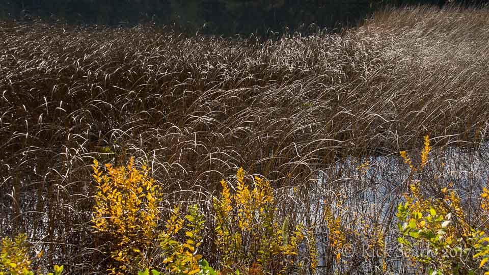 Reeds and shrubs at lake's edge