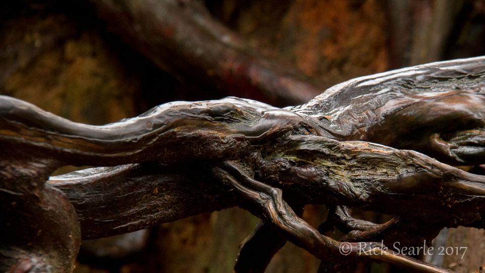 Cedar Roots Close Up