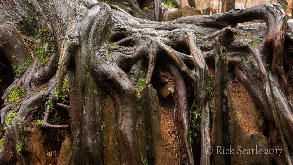 Cedar Roots on Stump