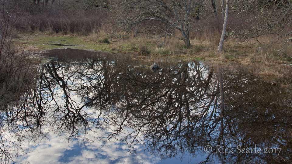 Garry Oak Reflection