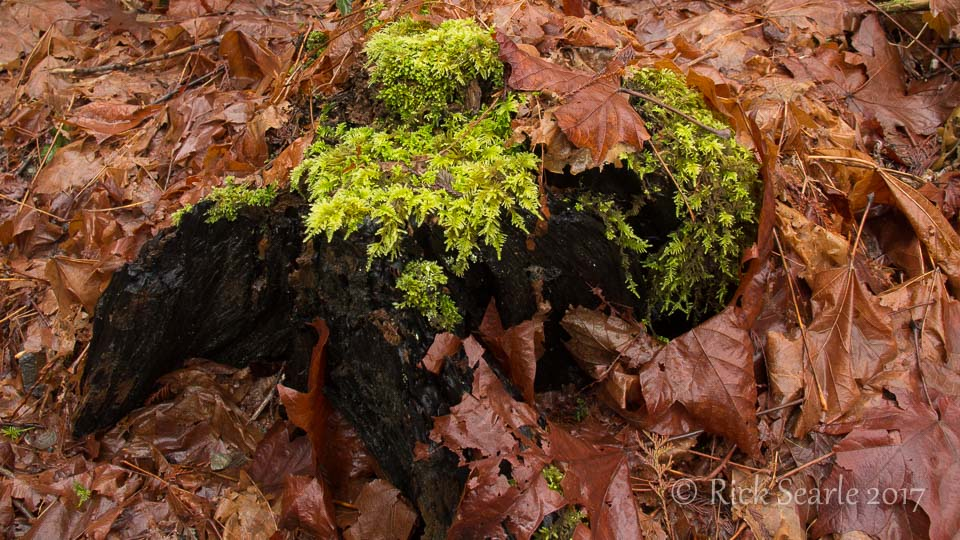 Moss on Stump Surrounded by Copper Maple Leaves