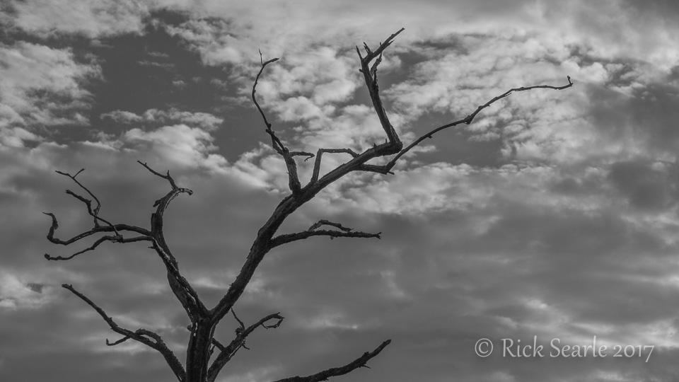 Garry Oak and Clouds