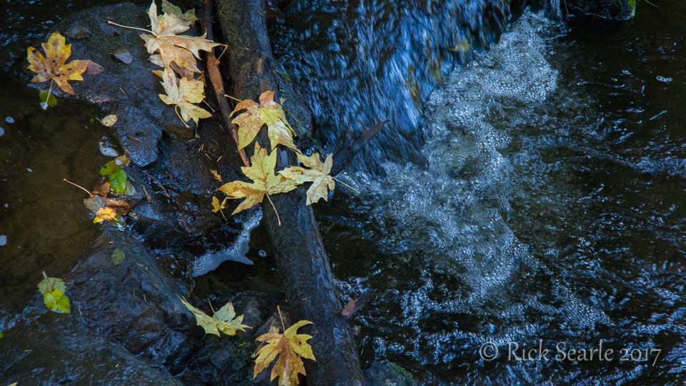 Maple leaves and stream