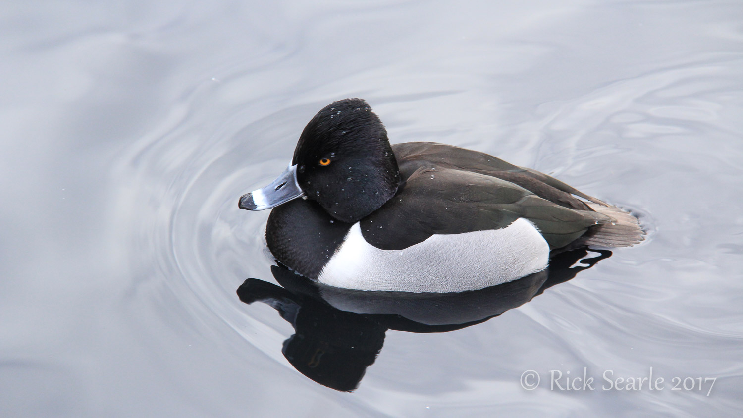 Ring Neck Duck
