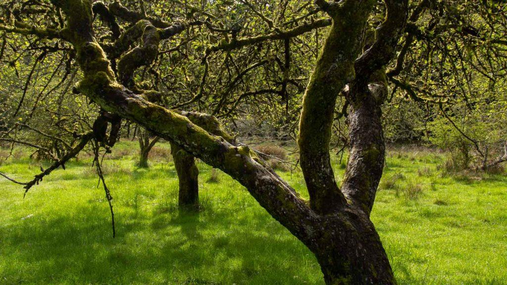 Heritage Fruit Tree