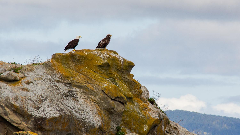 Mature and immature Bald Eagles