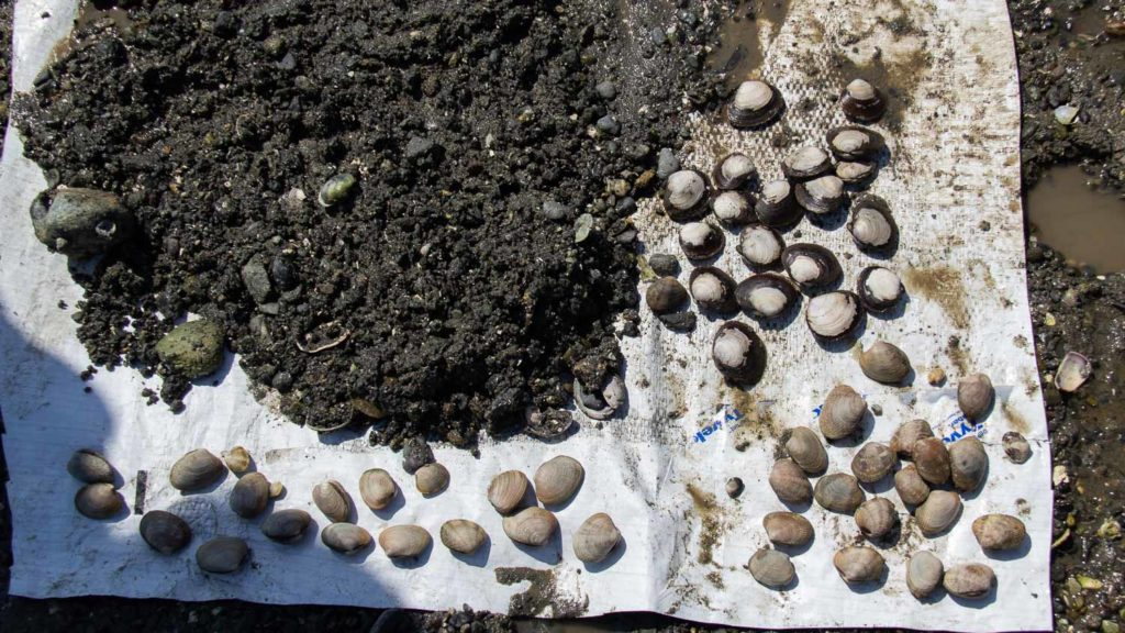 Three Species of Clams