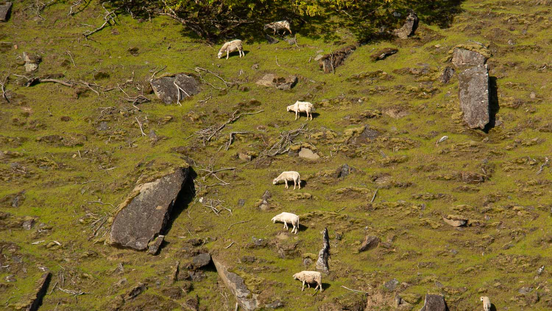 Feral goats, Samuel Island