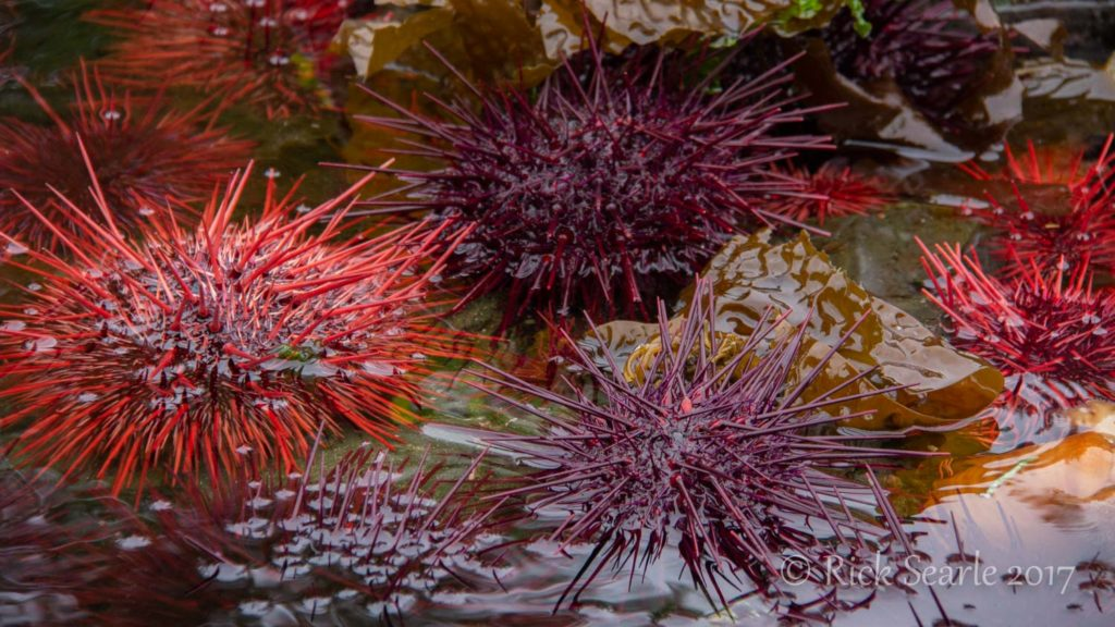 Burnaby Narrows Urchins