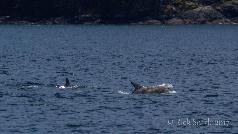 Cape Panny Risso's Dolphins