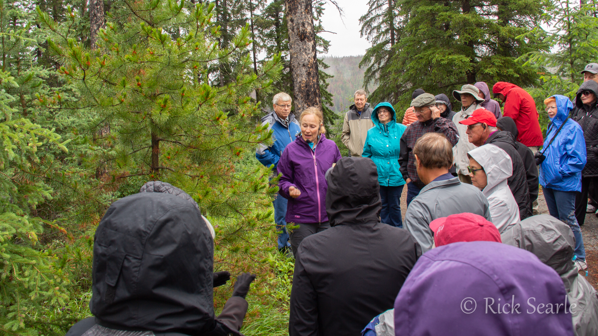 Learning About Pine Trees in Jasper National Park