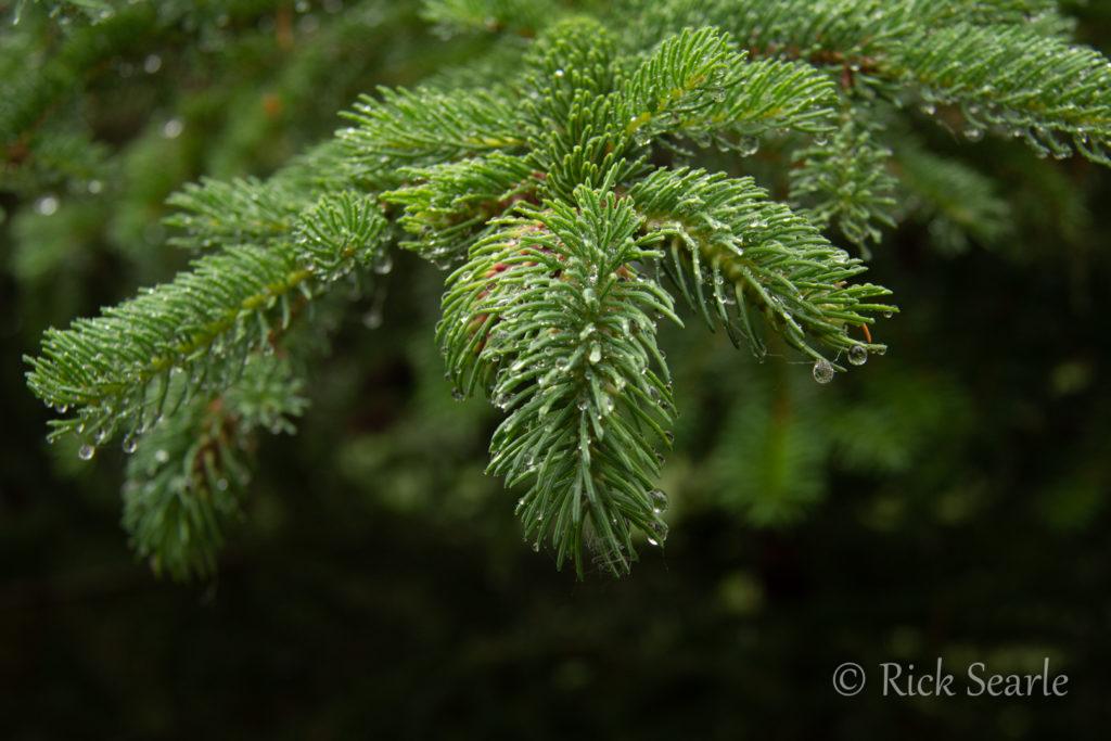 Spruce in Rain