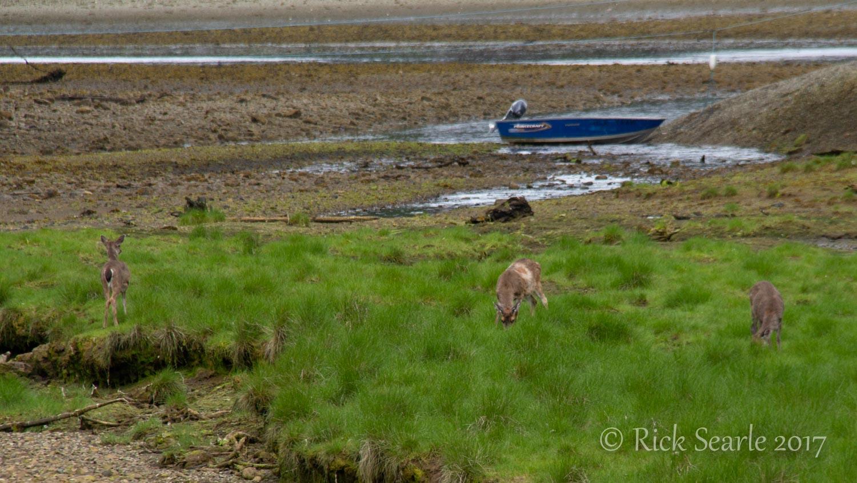 Windy Bay Sitka Deer