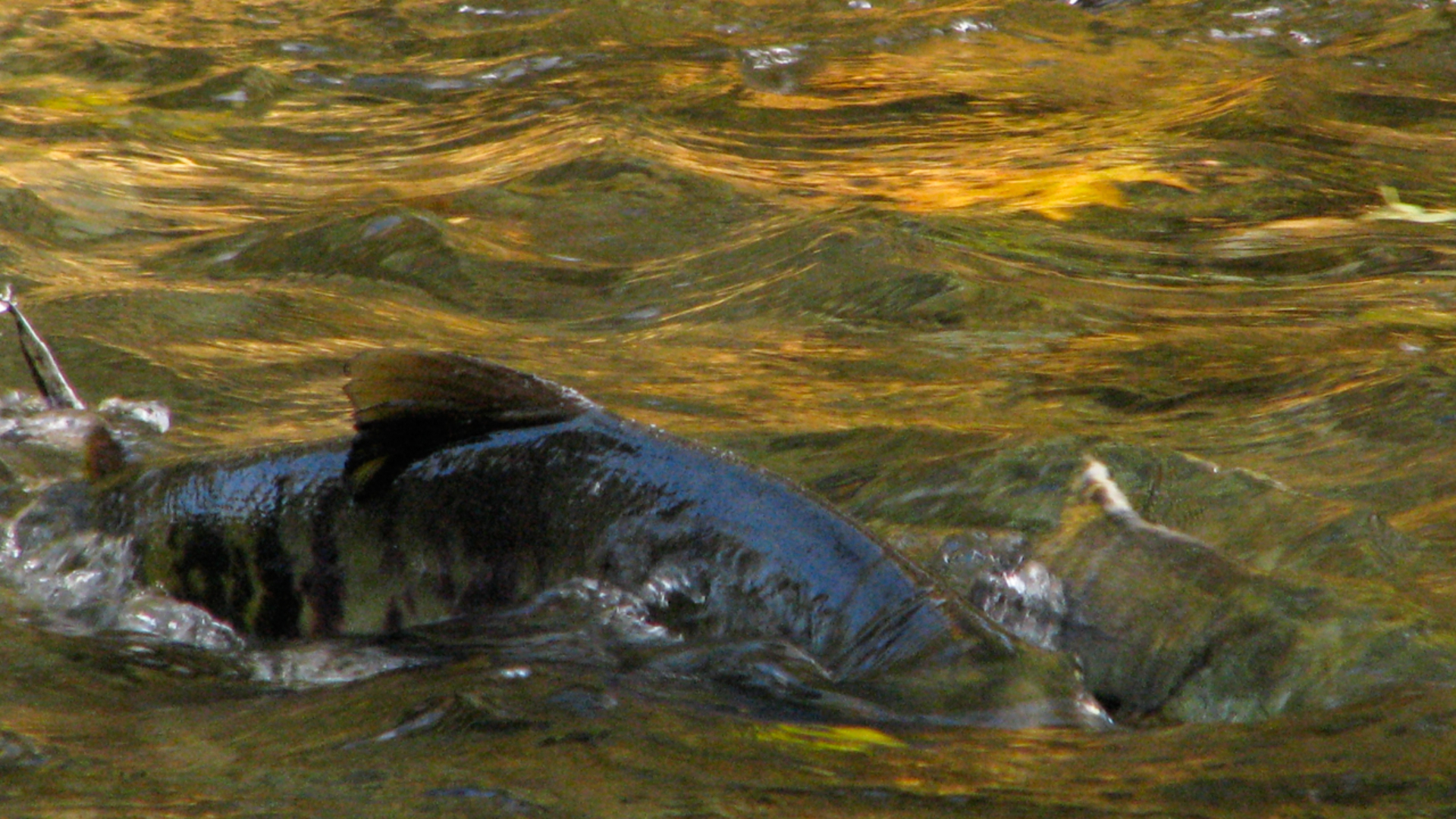 Spawning Salmon at Goldstream Park