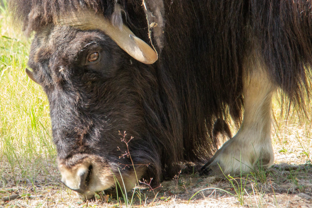 Musk Oxen at Yukon Wildlife Preserve