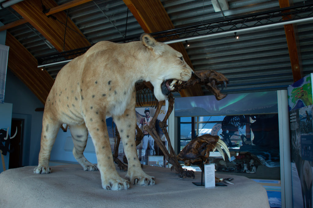 Sabretooth Cat - Beringia Centre