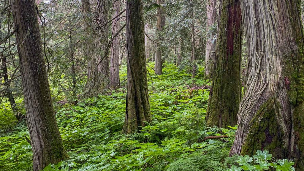 Ancient Forest Cedar and Devils Club