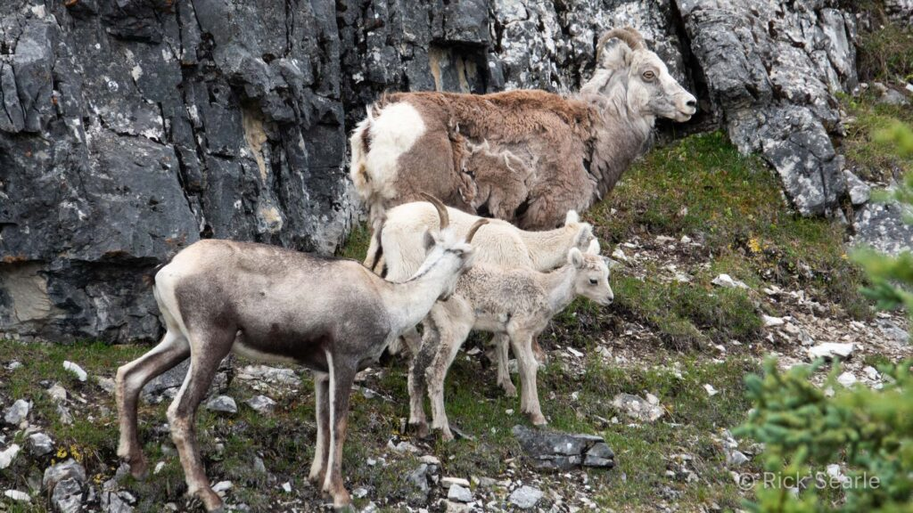 Stone Mountain Sheep