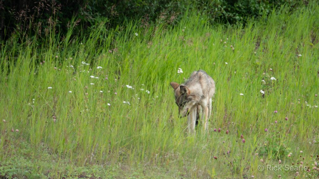 Wolf hunting along roadside