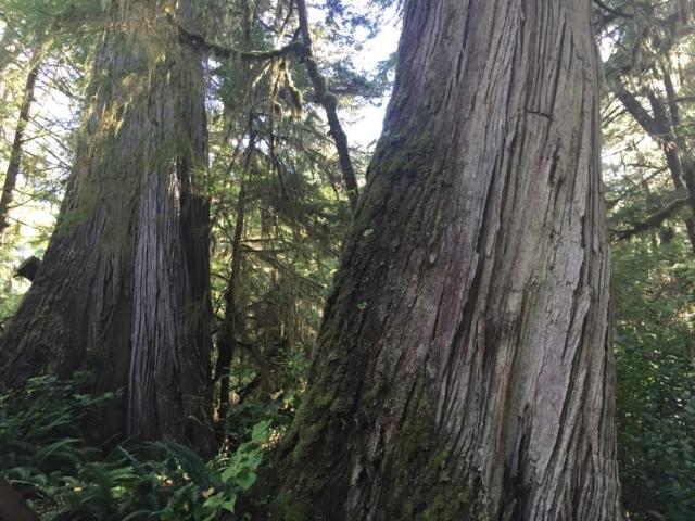 Old growth cedar trees