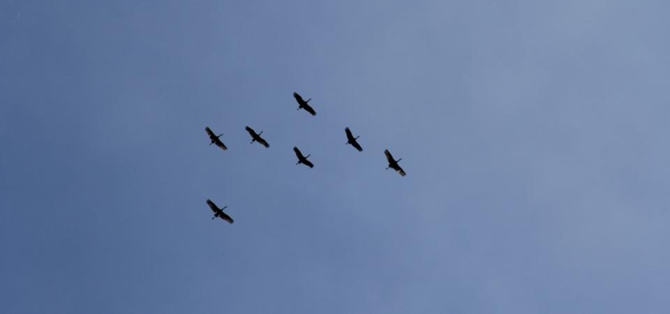 Sand Hill Cranes overhead.