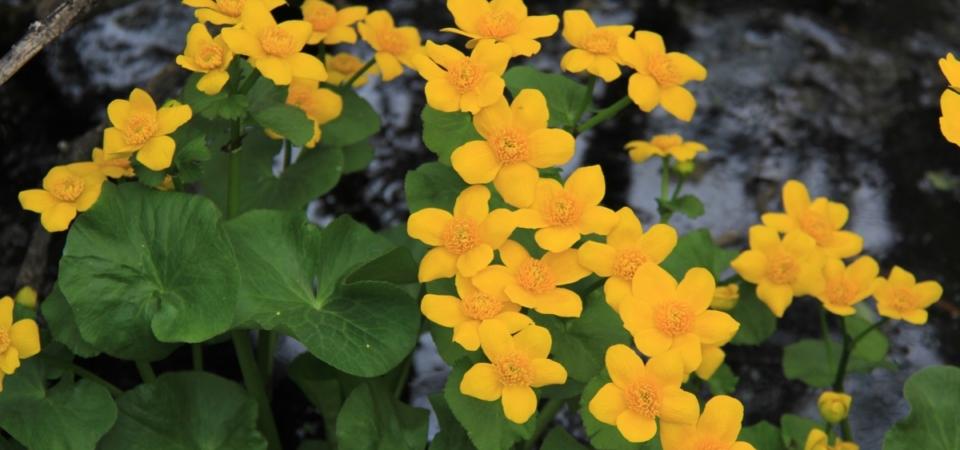 Marsh Marigolds